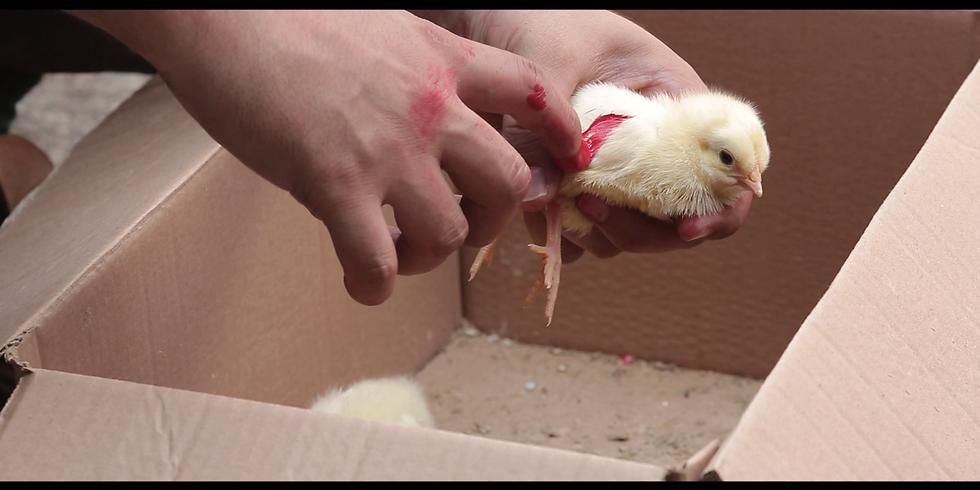 Civciv / The Chick (10') Yapım Yılı: Ekim 2020 Yönetmen: Turgut Kanal Film Türü: Kurmaca (1)