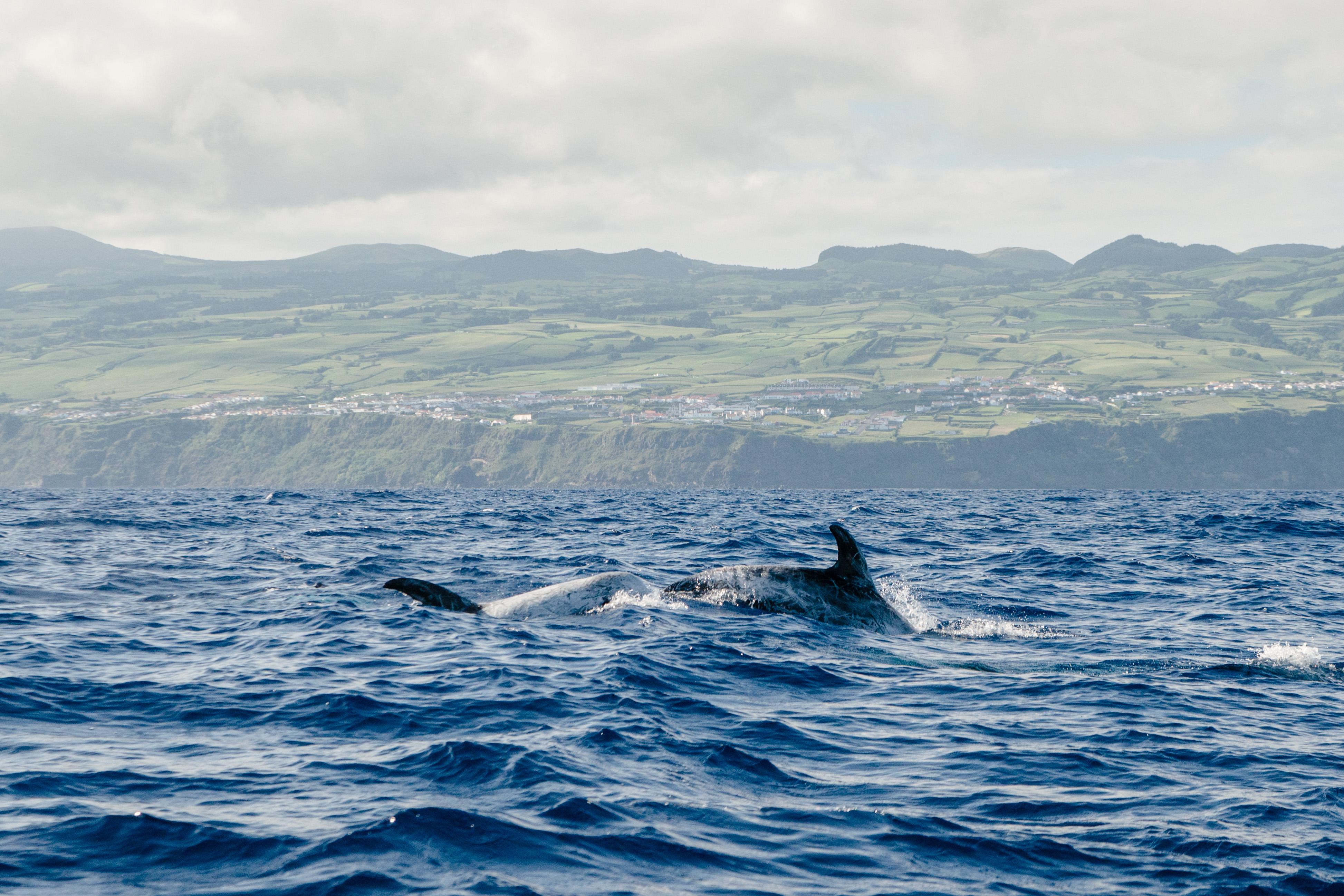 Delfín gris | Risso's dolphin