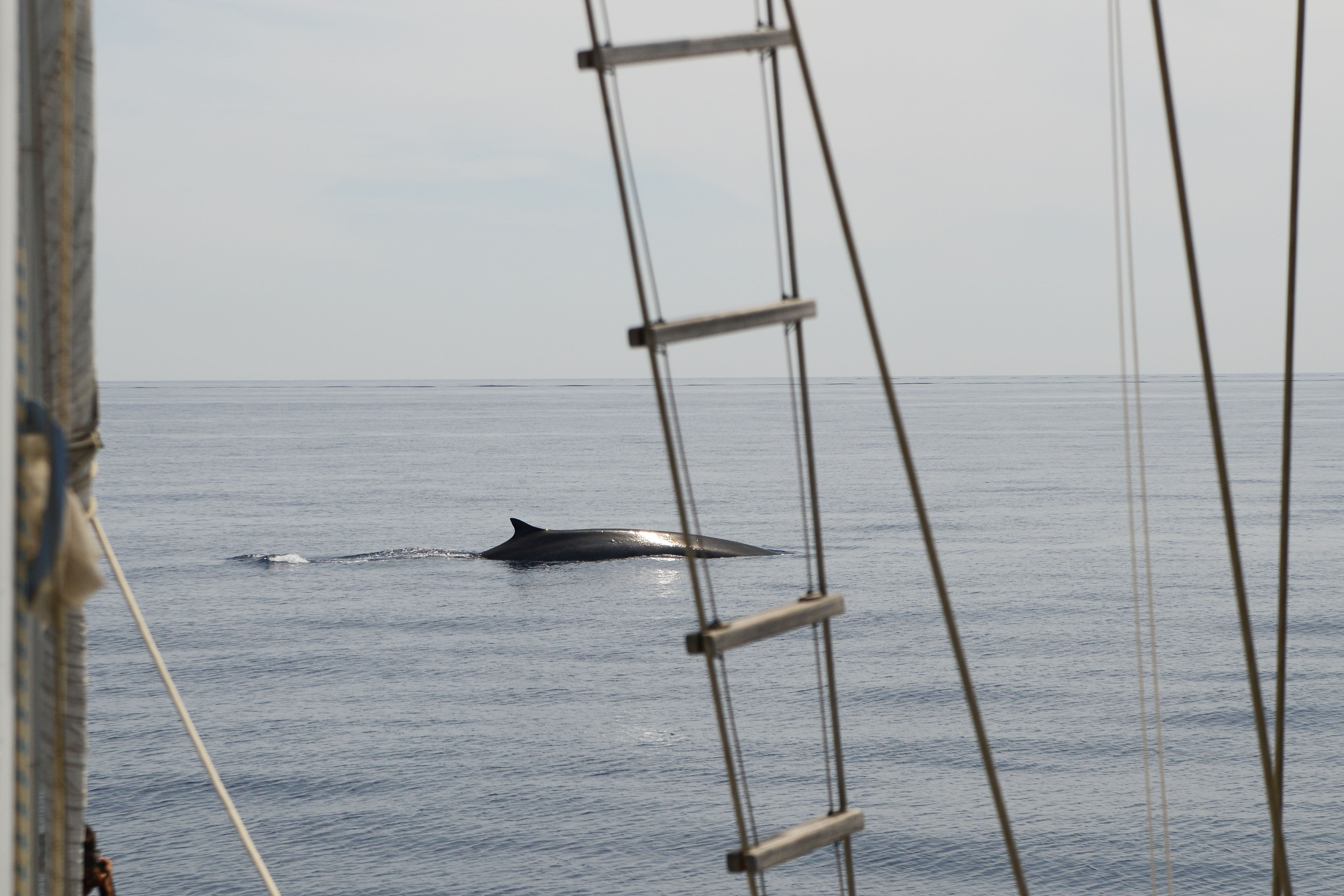 Sailing with fin whales
