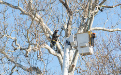 Eastern Tree Service trimming a tree at the Dorchester County Courthouse using one of the tallest bu