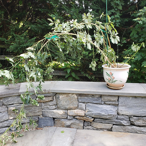 Very Tall & Large Umbrella Tree Plant in Ceramic Planter with Underplate