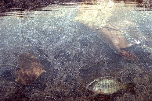 Puddle Fish