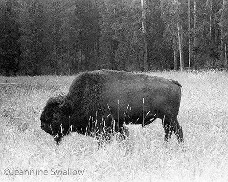 Buffalo in the Wild, Yellowstone