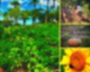 sistemas agroflorestais biodiversos (3).