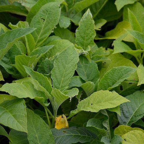 Brugmansia 'Suaveolens White'