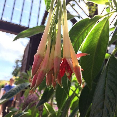 Fuchsia boliviana 'Alba'
