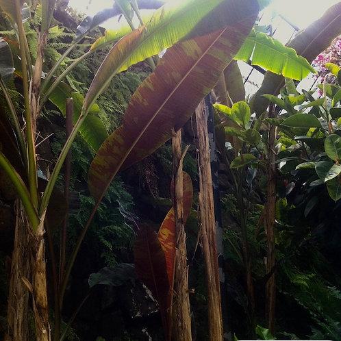 Musa acuminata subsp zebrina