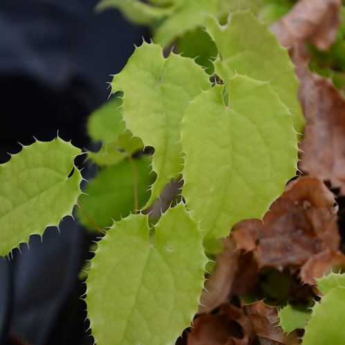 Epimedium 'Asiatic Hybrid'