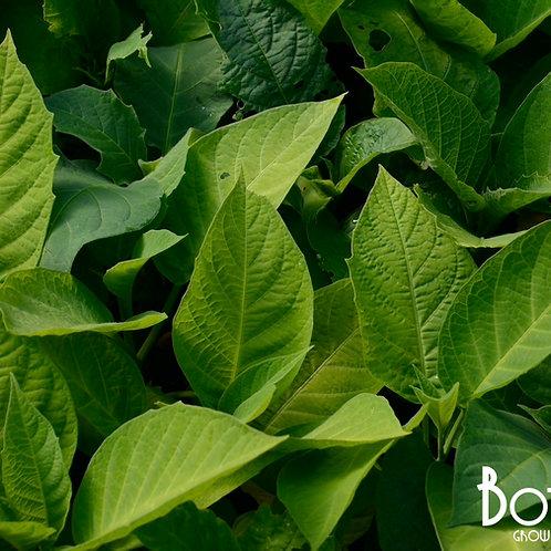Brugmansia 'Double Yellow'