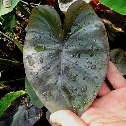 Colocasia esculenta 'Black Coral'