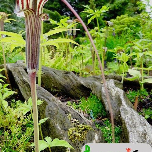 Arisaema ciliatum