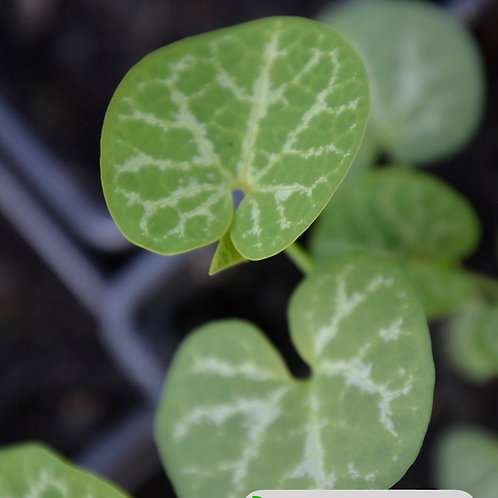 Aristolochia fimbriata