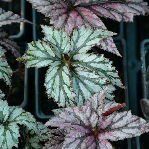 Begonia benitochiba