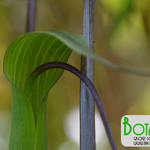 Arisaema intermedium