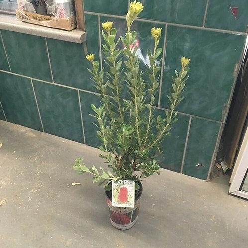 Banksia praemorsa 'Red'