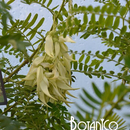 Clianthus 'White Heron'