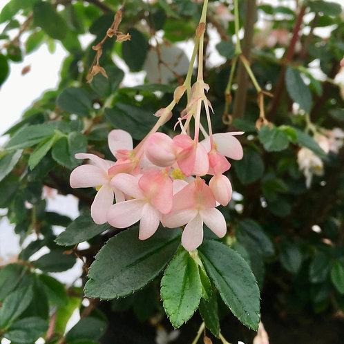 Begonia fuchsioides 'Rosea Form'