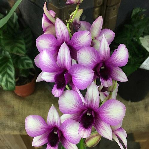 Dendrobium hybrids