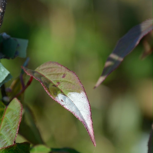 Actinidia tetramera var. maloides