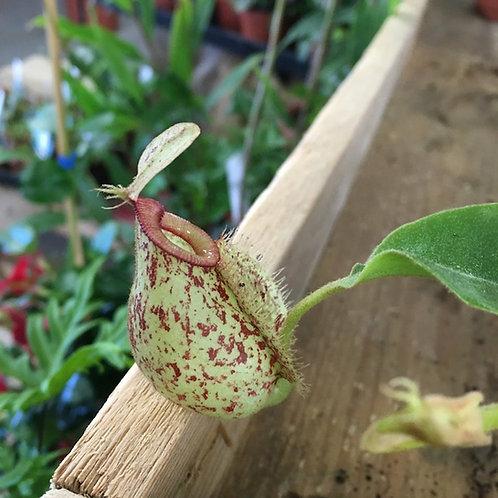 Nepenthes X hookeriana hybrids