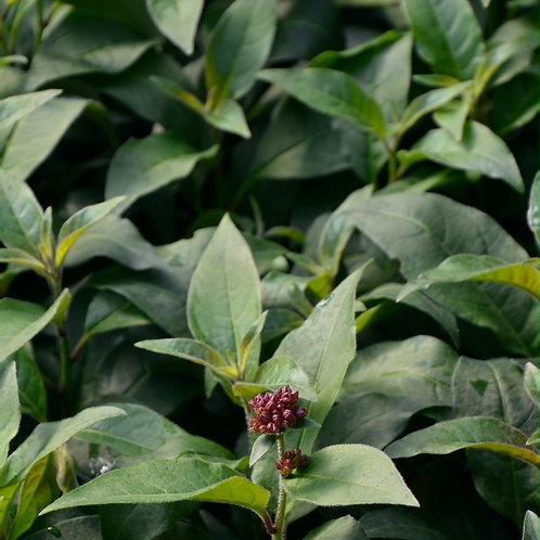 Cestrum purpureum 'Scarlet Cluster'