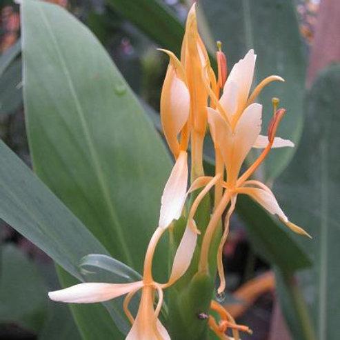 Hedychium 'filigree'
