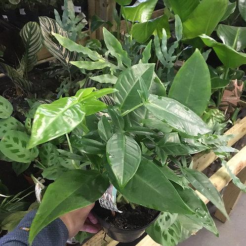 Syngonium Podophyllum 'Tri-leaf Wonder'