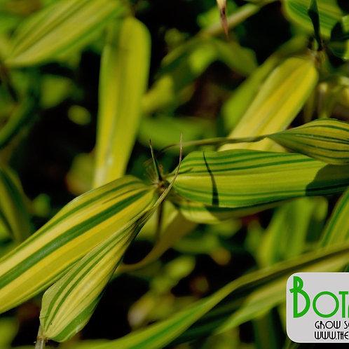 Phyllostachys nigra var. aureo variegata