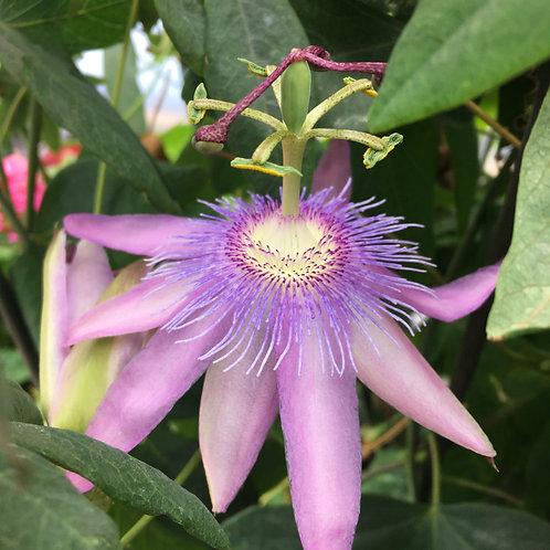 Passiflora 'Purple Passion'