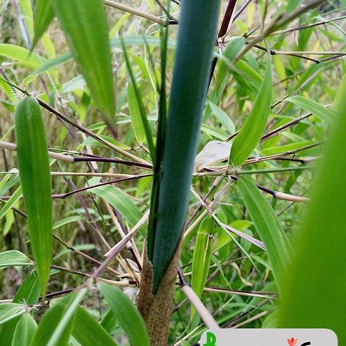 Fargesia yunnanensis