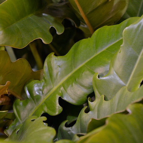 Philodendron 'Narrow'