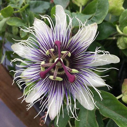passiflora 'Sapphire'