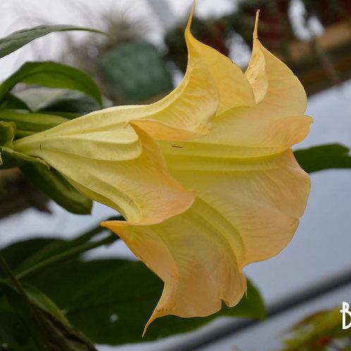 Brugmansia 'Yellow'
