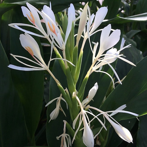 Hedychium forrestii (Hort)