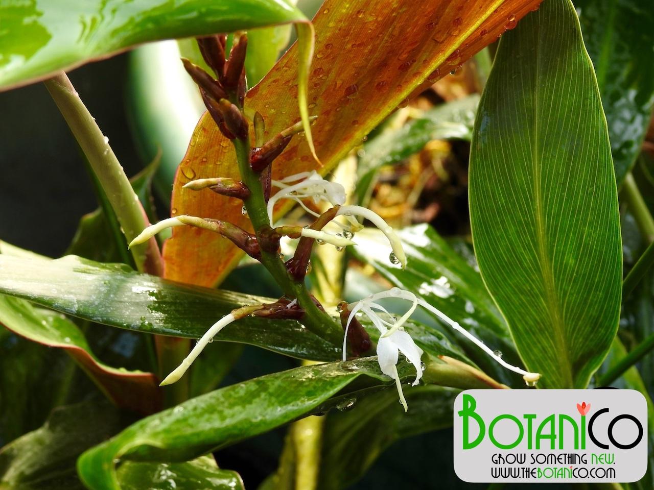 Hedychium villosum