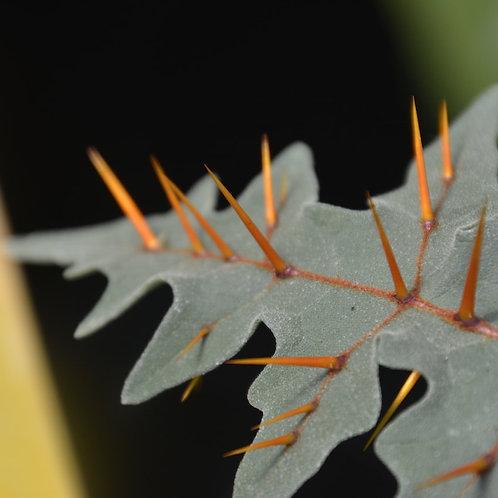 Solanum pyracanthum