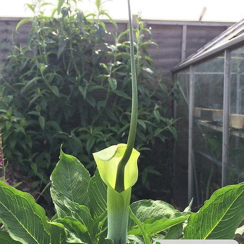 Arisaema hellerborifolium