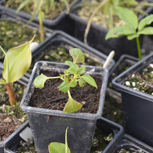 Impatiens rhombifolia