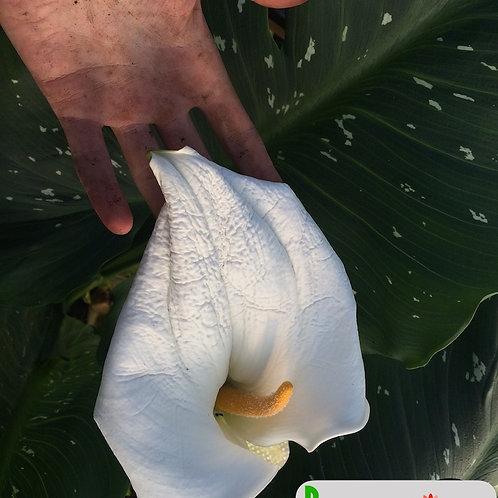 Zantedeschia aethiopica 'Mixed hybrids'