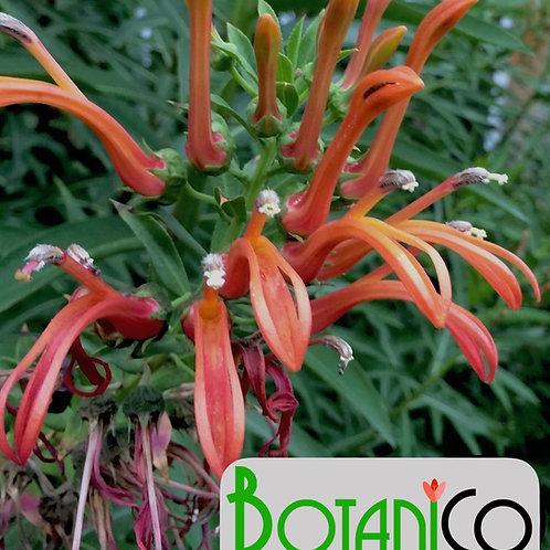Lobelia excelsior