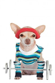 workout-chihuahua-307x460.jpg