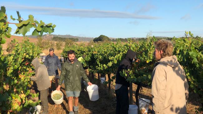 Chardonnay Harvest 2019