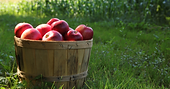 apple orchard.png