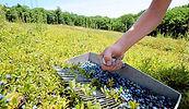 blueberry-rake.jpg