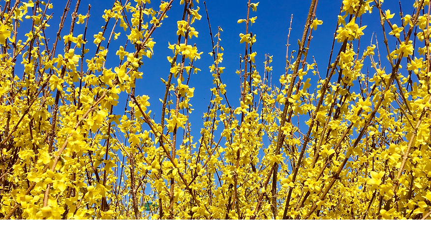 spring forsythia.png