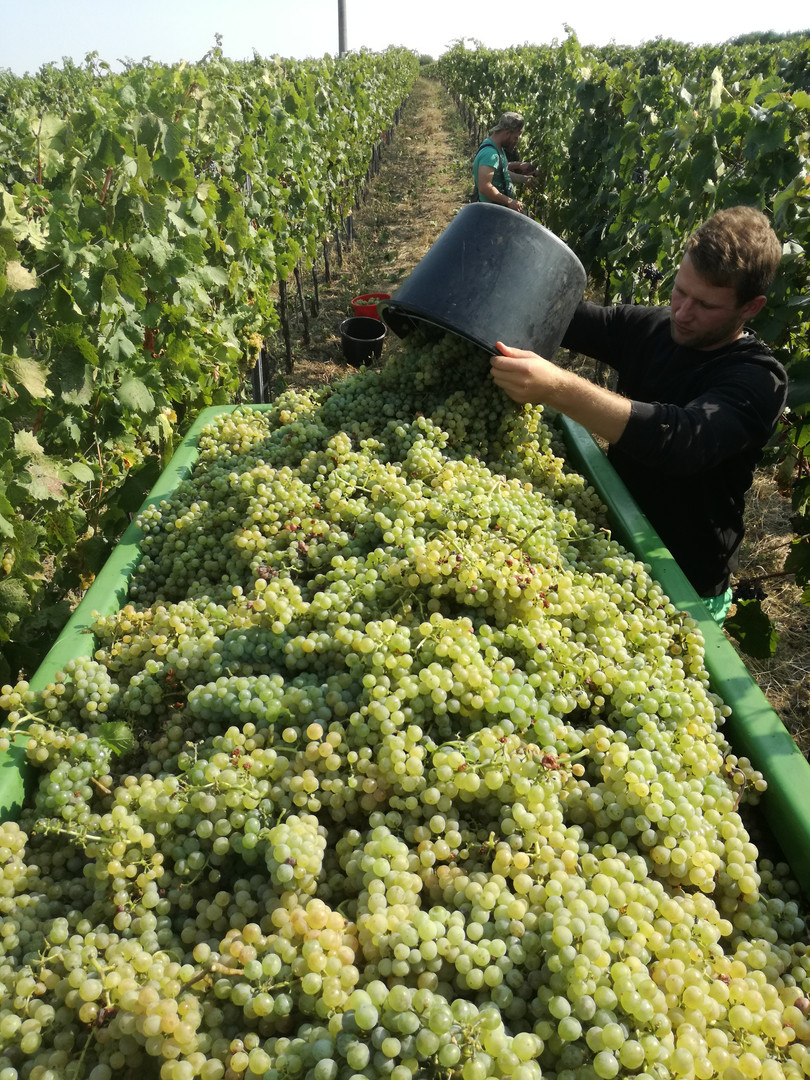 Vína Herzánovi.jpg