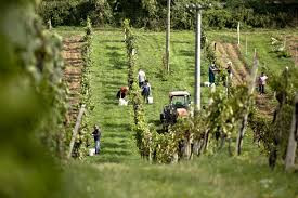 vinarstvo magula.jpg