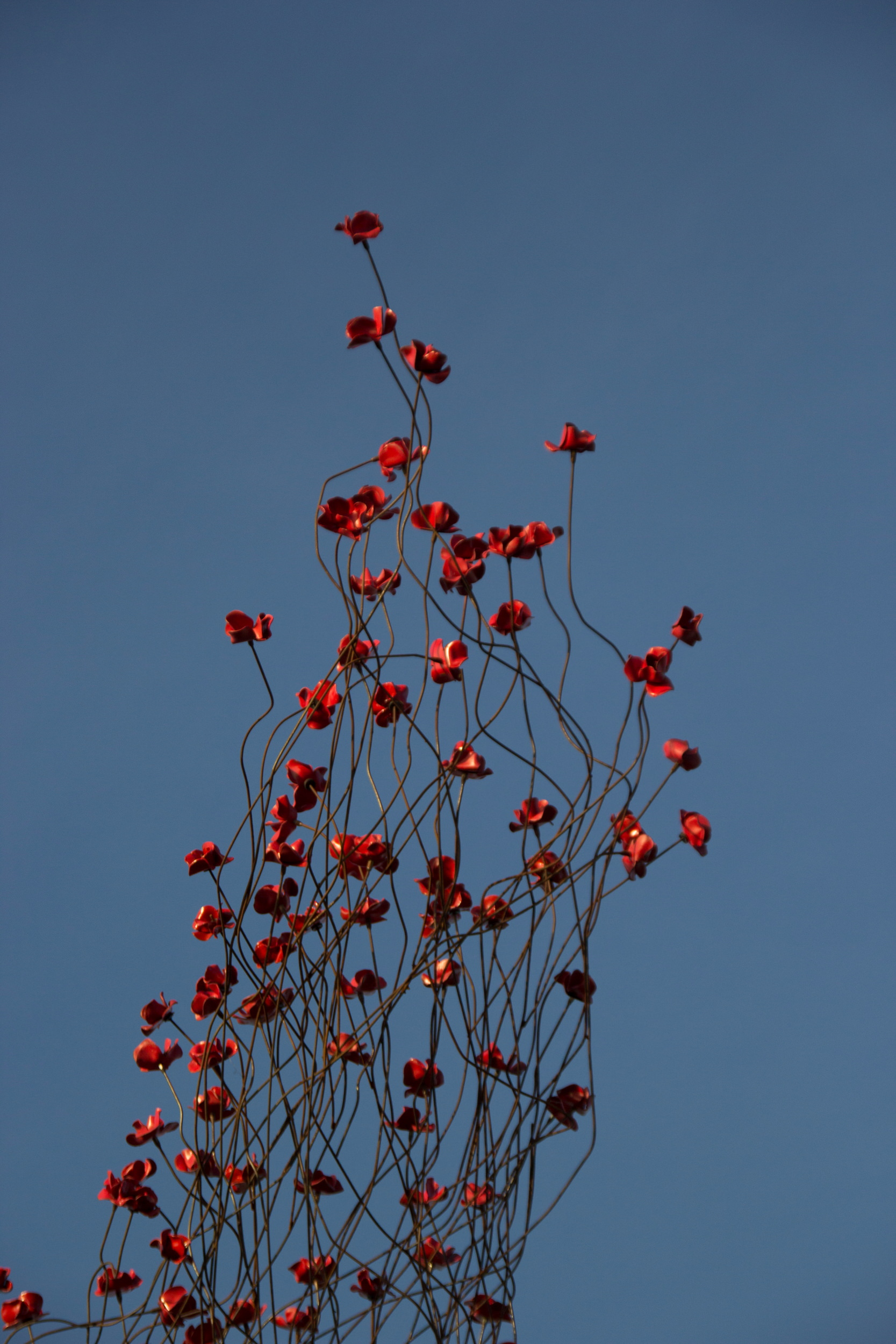 Poppies tour: poppies wave