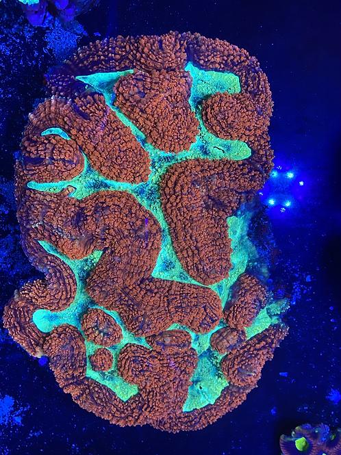 Symphyllia (show size) XXL