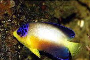 Multi Color Angel Fish